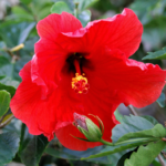 Fallas Lord Baltimore Hibiscus