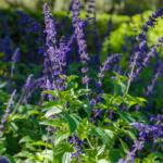 Fallas Mystic Spires Blue Salvia